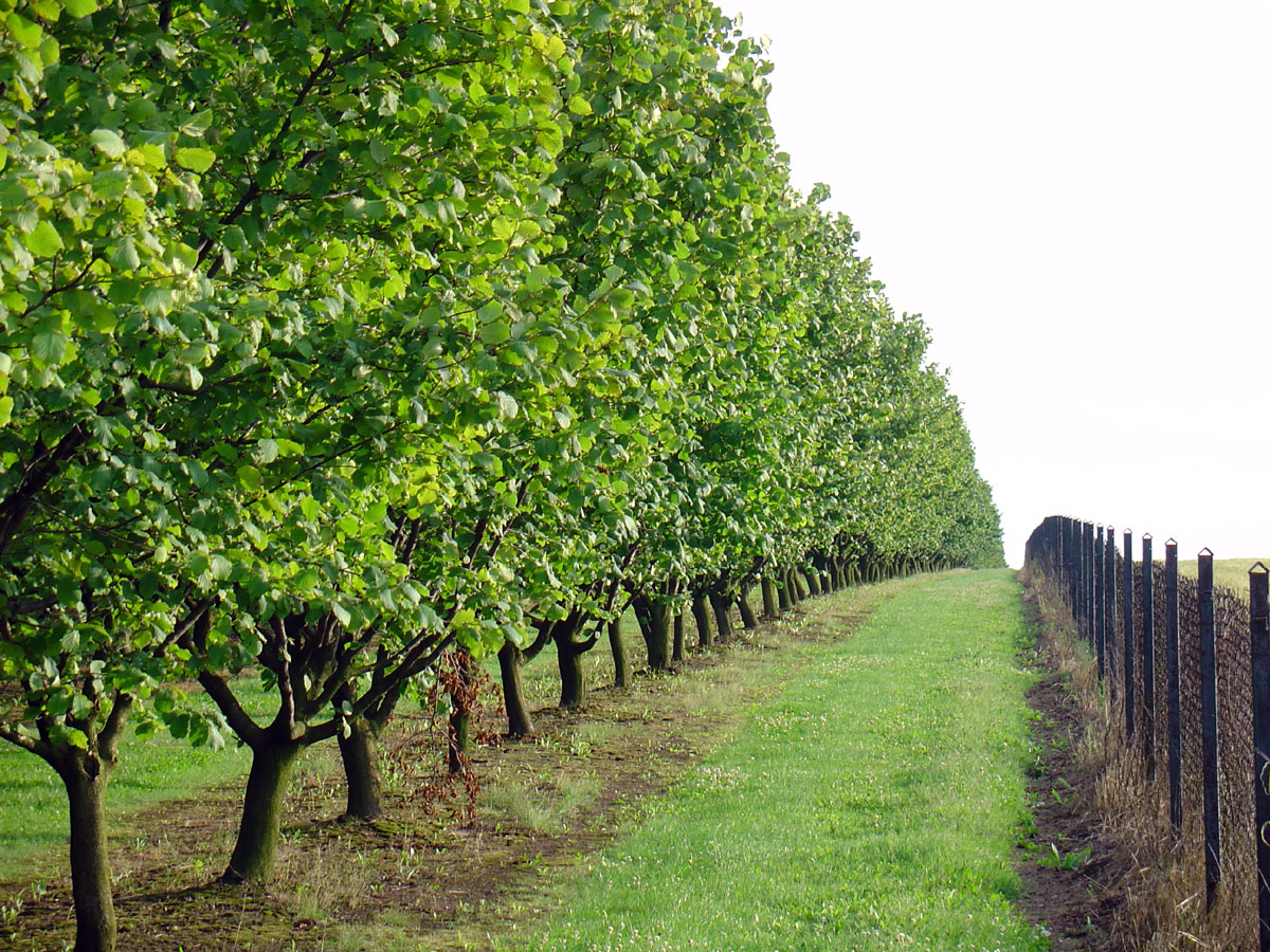 Орехи в Сибири. Лещина, или фундук - Сад Особенности выращивания фундука 32